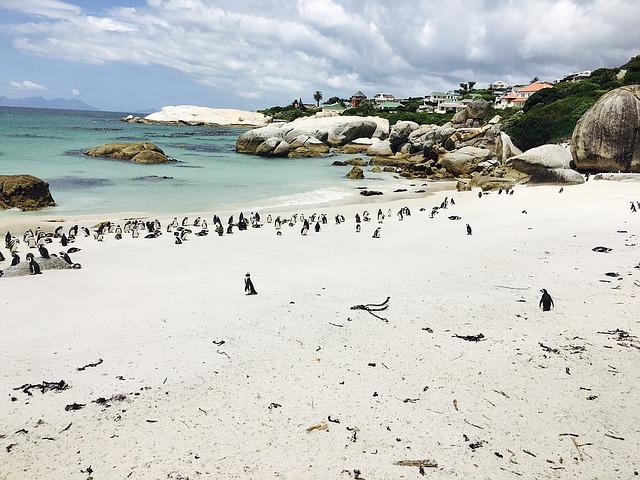 tučňáci v Africe