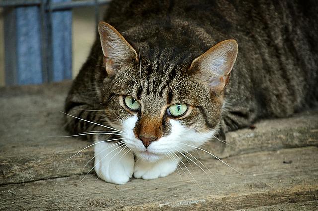 bojácná kočka